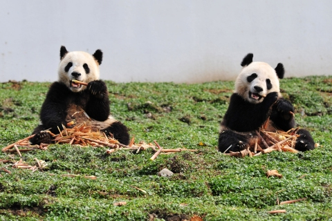 Two giant pandas have a meal on Oct. 30, 2012 in their new home in the Wolong National Nature Reserve in Wolong, southwest China's Sichuan province.