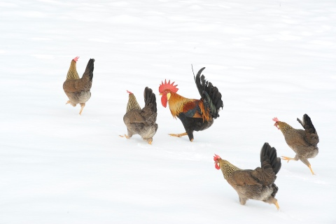 Chickens run in snow at Sinnington, northern England
