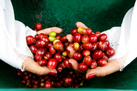 A woman inspects coffee berries in a plantation near Viota in Cundinamarca province