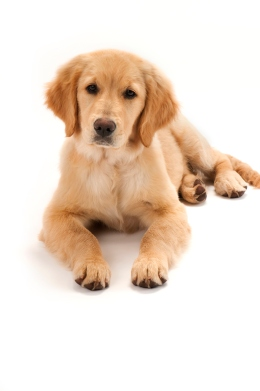 Image: A golden retriever puppy