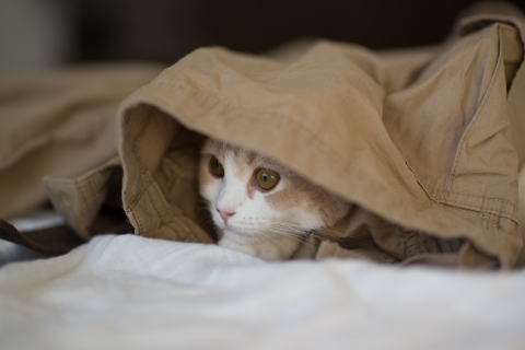 White and beige cat hiding under brown cloth