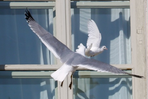 A seagull attacks the dove released by Pope Benedict XVI during the Angelus prayer in Saint Peter's square