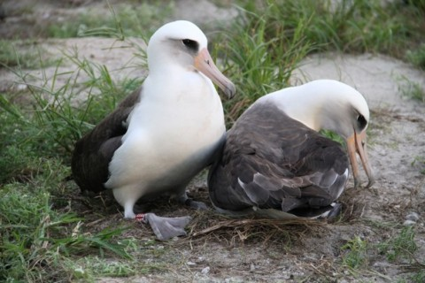 image: Wisdom, left, attempts to nudge her mate off the nest for her turn at incubating the couple's egg.