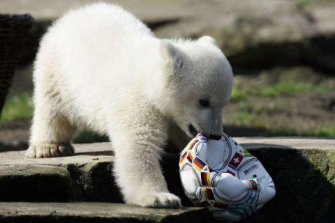 Knut in Berlin Zoo