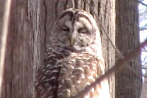 Owl twists its neck