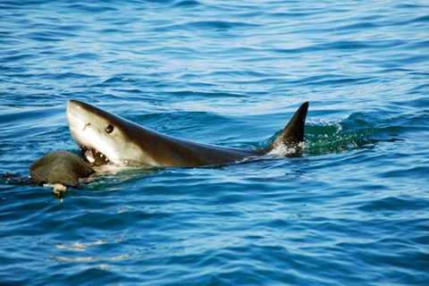 nf_great_white_sharks_0304