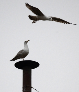 A seagull stands on the chimney on top of the Sistine Chapel, during the second day of voting for the election of a new pope at the Vatican