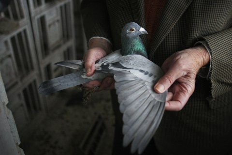 Bill Chapman stretches the wing to check for moulting on one of his racing pigeons in his backgarden loft at home in Reading, Berkshire on Nov. 27, 2007.