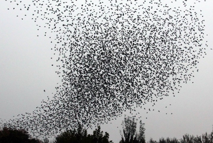 A flock of birds fly over a park in Yuncheng City, north China's Shanxi Province, on Oct. 26, 2011.