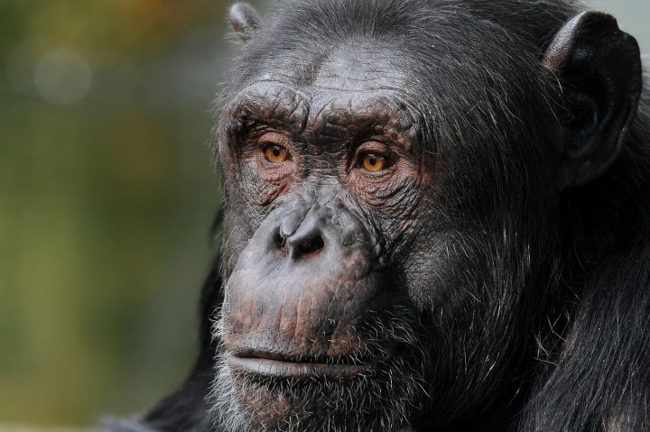 Animals who have run for office - Tiao the Chimp