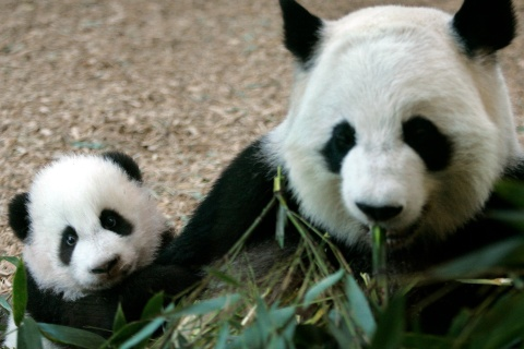 Giant Panda cub Mei Lan makes her formal debut at Zoo Atlanta with her mother Lun Lun in Atlanta.
