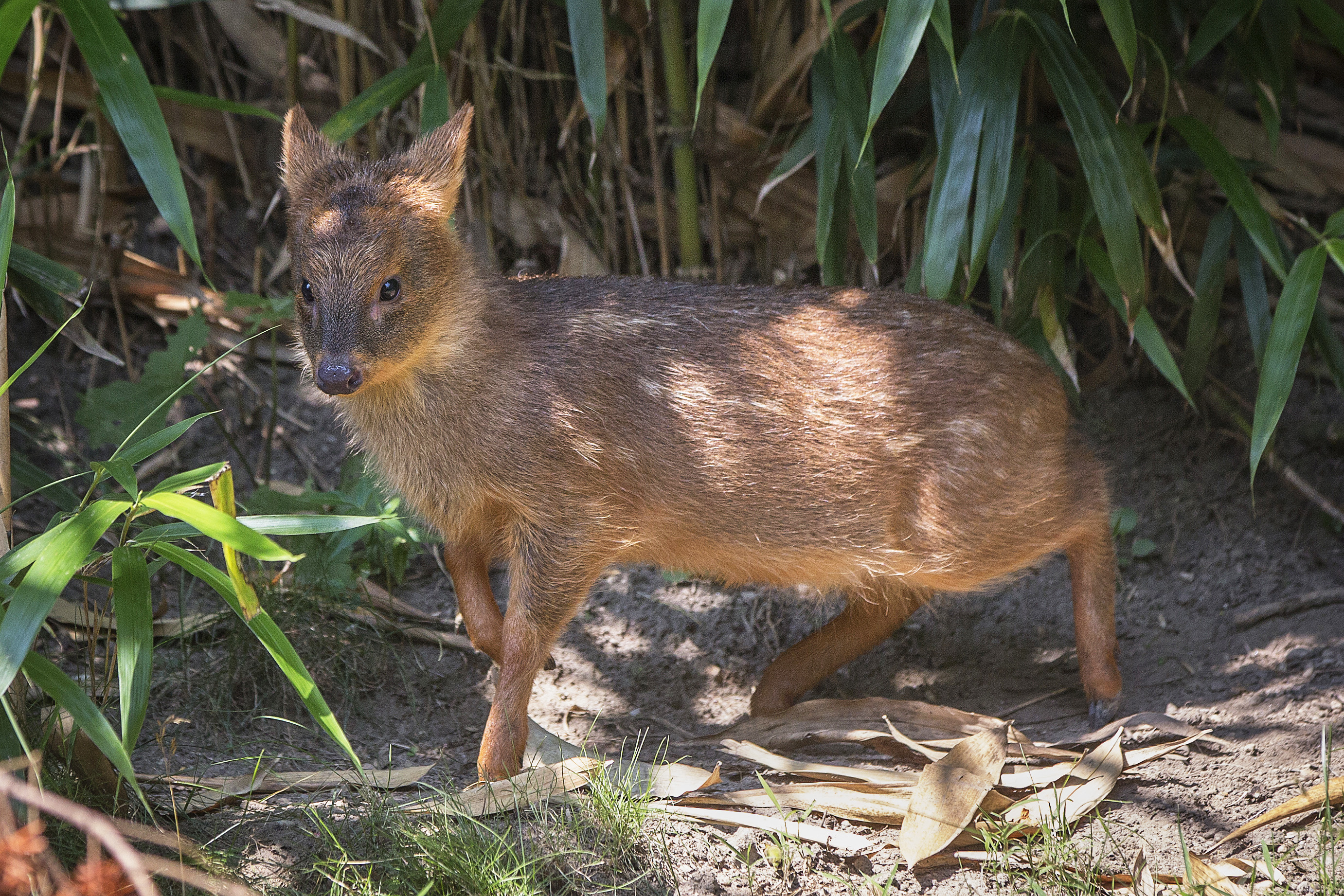 An endangered Southern Pudu, the world's smallest deer, is seen at a zoo in New York