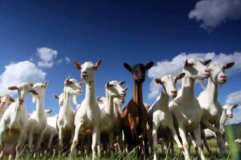 goats_herd