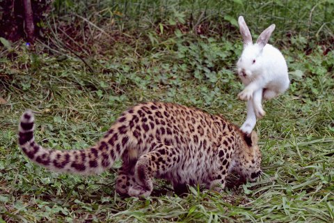 A rabbit hops to avoid a five-month-old leopard cub during a test of cubs' wild natural instincts at a wildlife park in Qingdao