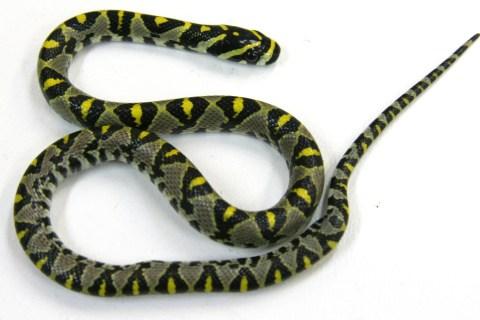 Australia Snake Grounds Plane