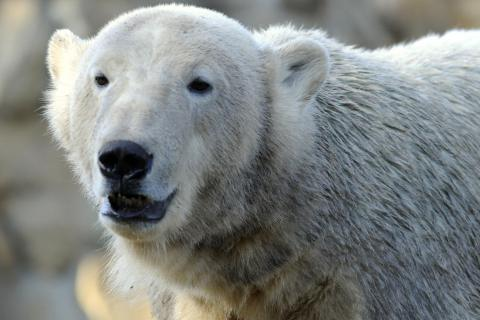 Knut, the world's most famous polar bear