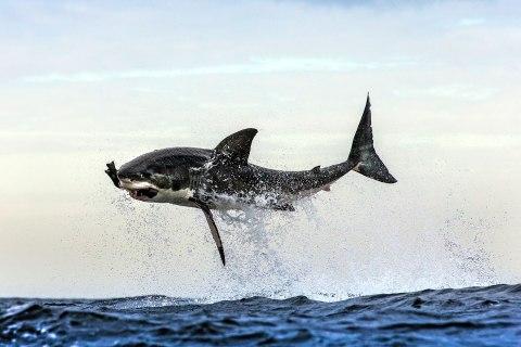 GREAT WHITE SHARKS BREACHING IN FALSE BAY