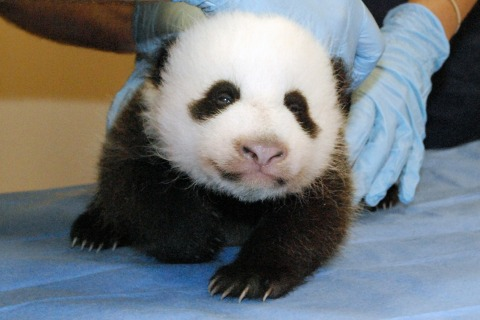 National Zoo's Panda Cam Comes Back Online