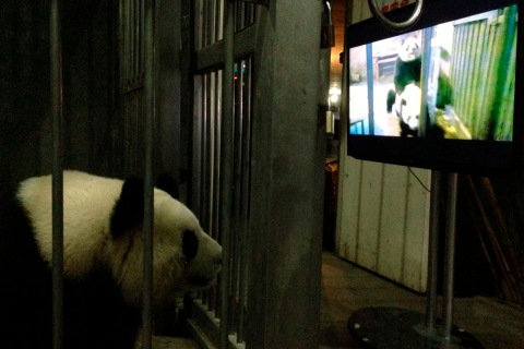 March 10, 2013. A female giant panda, Ke Lin, watches a panda mating video at Chengdu Research Base of Giant Panda Breeding, Sichuan province. According to the staff of the research base, they showed Ke Lin this video trying to teach her know how to mate as she kept rejecting her. After watching this video, Ke Lin and Yong Yong successfully mated.