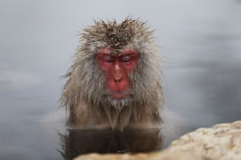 A Japanese Macaque soaks in a hot spring at a snow-covered valley in Yamanouchi town