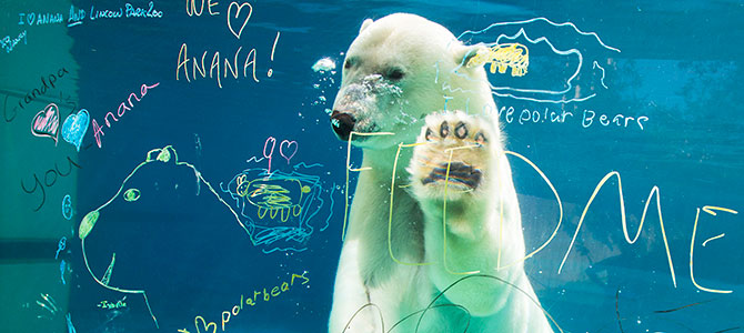 Anana, Polar Bear