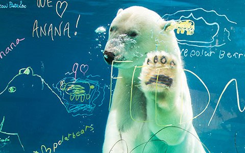 Image: Anana, Polar Bear
