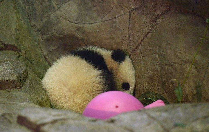 US-WASHINGTON D.C.-GIANT PANDA-CUB-BAO BAO-DEBUT