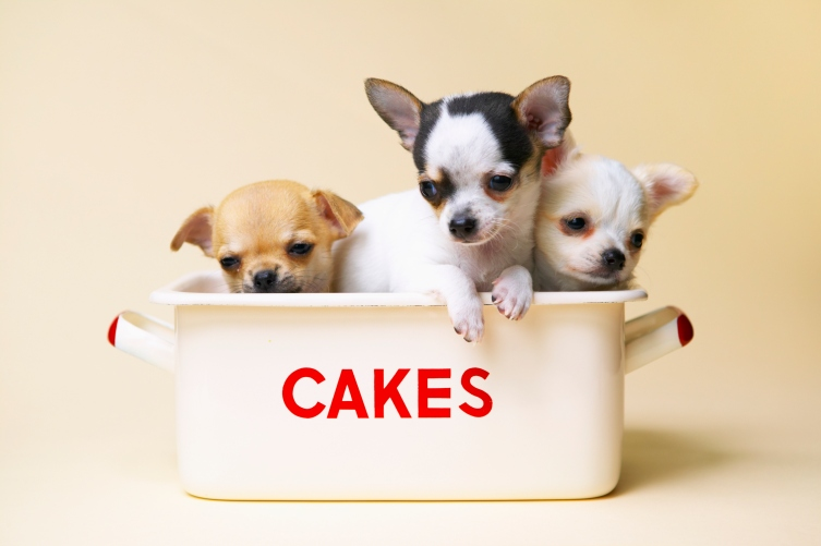 Three chihuahua puppies in cake tin