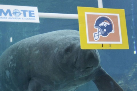 Manatee_Buffett_chooses_Broncos_SMALL4WEB