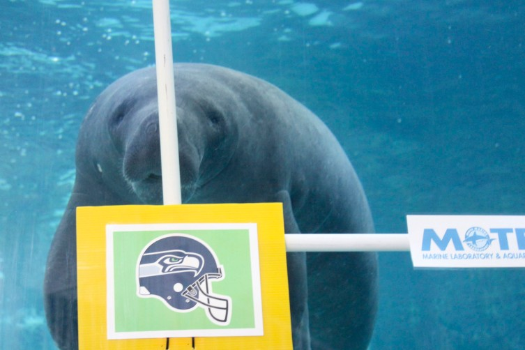 Manatee_Hugh_chooses_Seahawks