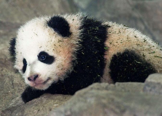 Panda Cub Bao Bao