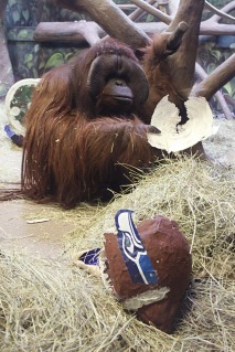Super-Bowl-Utah-Ape-Hogle-Zoo