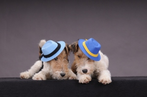 Fox Terriers with Hats