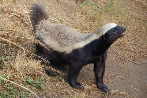 honey-badger-3