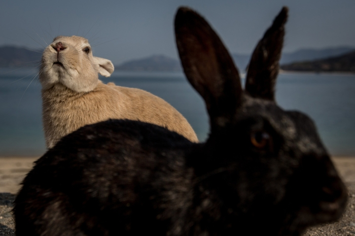 Bunnies Attract Tourists To A Japanese Islet Okunoshima