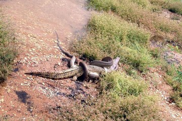 A snake eating a crocodile at Queensland's Lake Moondarra, near the mining town of Mount Isa., March 2, 2014.