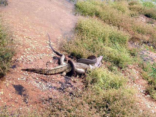 AUSTRALIA-ANIMAL-OFFBEAT-SNAKE-CROCODILE